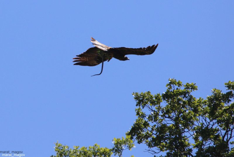 змей лов,орёл.змея,горы,вершины,пейзаж,небо,деревья,дагестан,природа Змея лов с добычей..photo preview