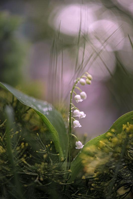 природа, макро, весна, цветы, ландыш *** фото превью