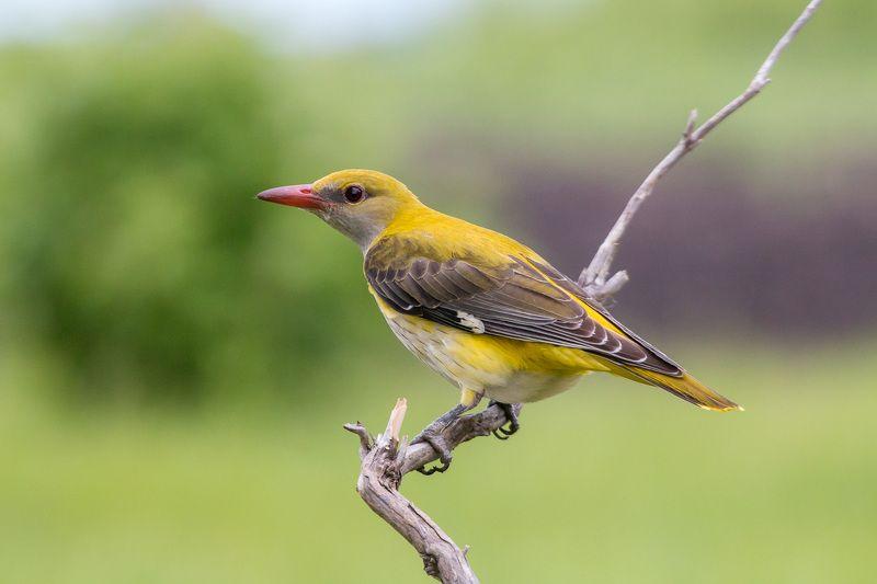 птицы, иволга, wildlife, birds, весна, oriole Обыкновенная иволгаphoto preview