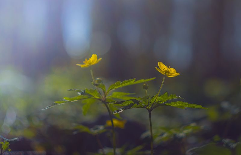 кострома,весна,цветы,лес Весна,весна...photo preview