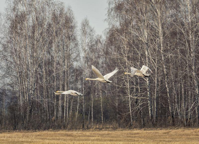 птица, лебедь кликун, полёт, весна, полёт.. фото превью