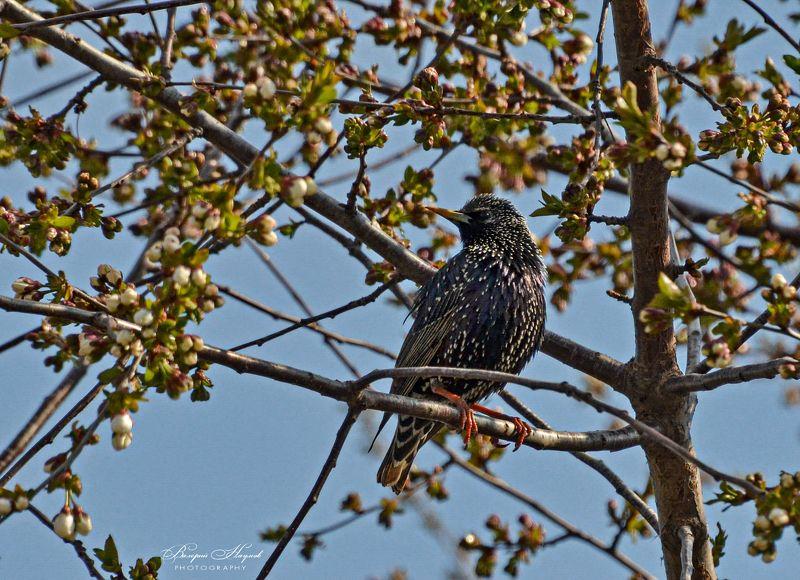 весна, май птица, скворец Певец весны фото превью