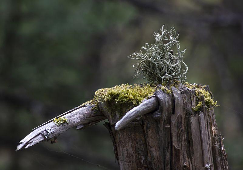 природа,лес,деревья,пень,мох,лишайники Клыкастыйphoto preview