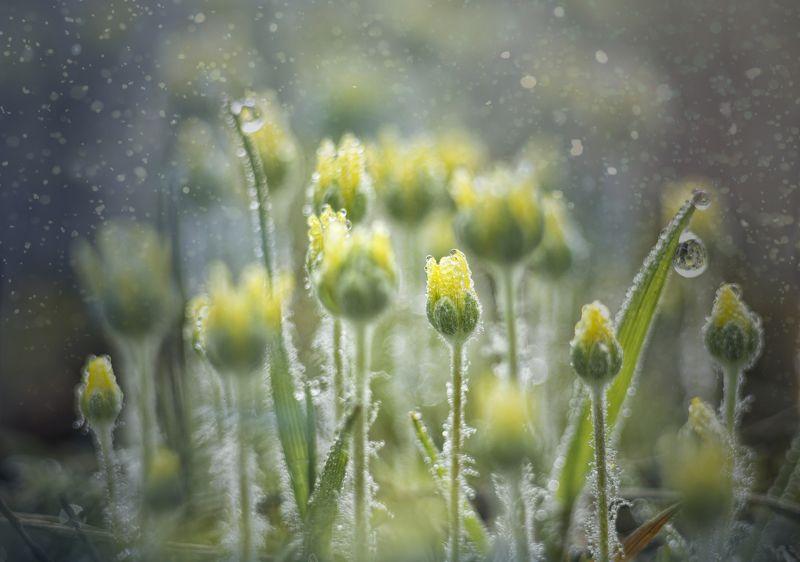 макро, цветы, роса, утро Жёлтые цветыphoto preview