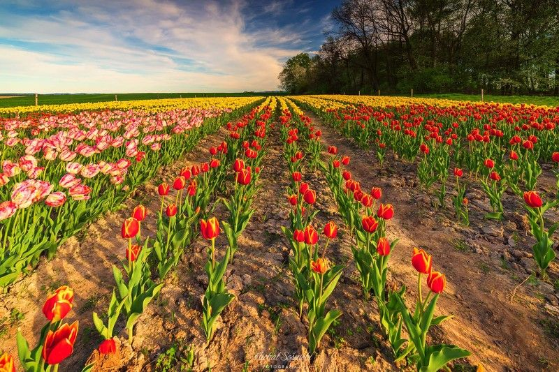 #poland #tulip #tulips #flowers #nature #landscape #best #benro #benq #pentax Tulips in Poland.photo preview