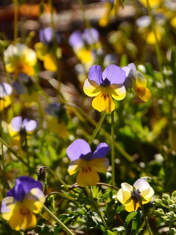 весна, цветы, макро, анютины глазки, фиалка Анюткиphoto preview