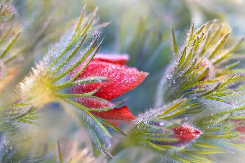 сон-трава, капли, макро Сон про сон-траву photo preview