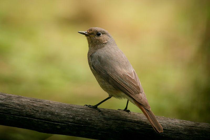 птицы, горихвостка, чернушка, wildlife, birds, лето, black redstart Горихвостка-чернушка, самкаphoto preview