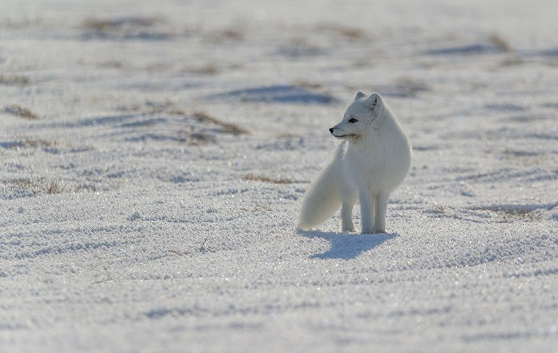 чукотка, арктика, песец белый, зима,снег ...photo preview