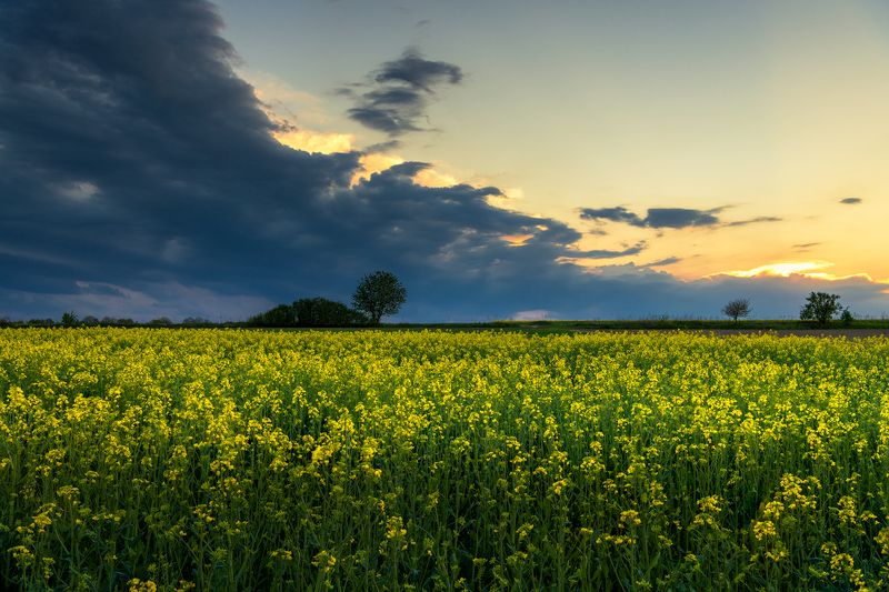 nature, landscape, colors, sunset, tree, clouds, colza Springphoto preview