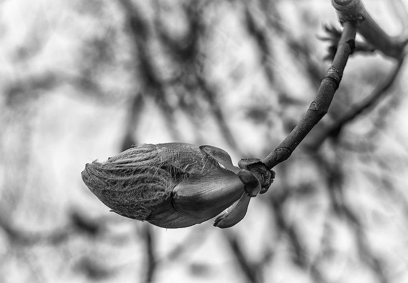 Черно белый каштанphoto preview