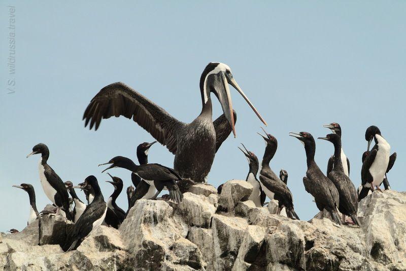 пеликан, баклан, птица, фауна, птенец, пища, крыло, перу, путешествие, приключение, шагнивнеизведанное Из цикла \