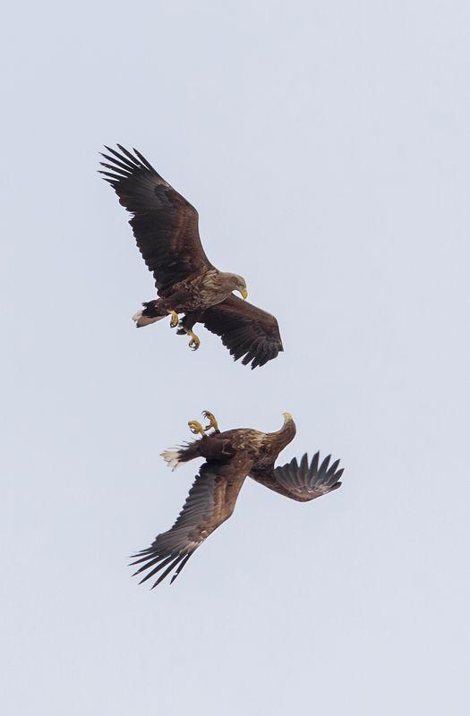 орлан белохвост, птицы, полет пара Орлановphoto preview