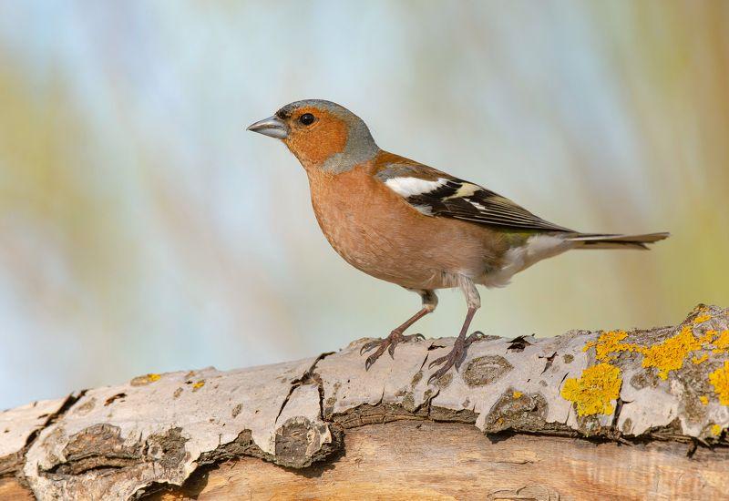 птицы,природа, весна Зябликphoto preview