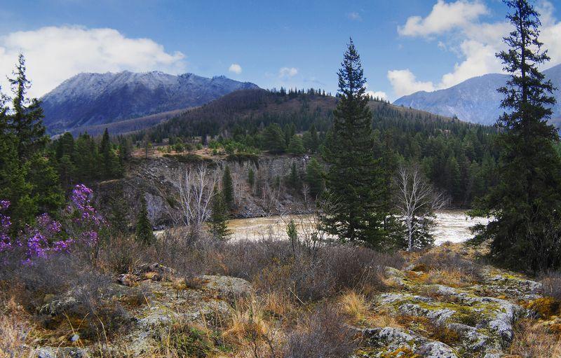 Алтай, весна, багульник, горы, река Горный Алтай веснойphoto preview