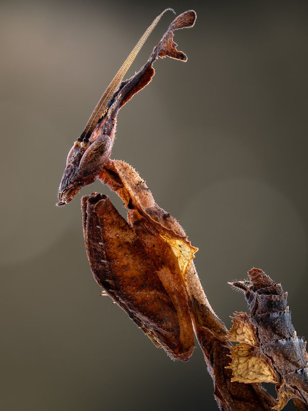irass, waledzik, nat geo, olympus, close up, macro, extreme macro, макро Phyllocrania paradoxa.photo preview