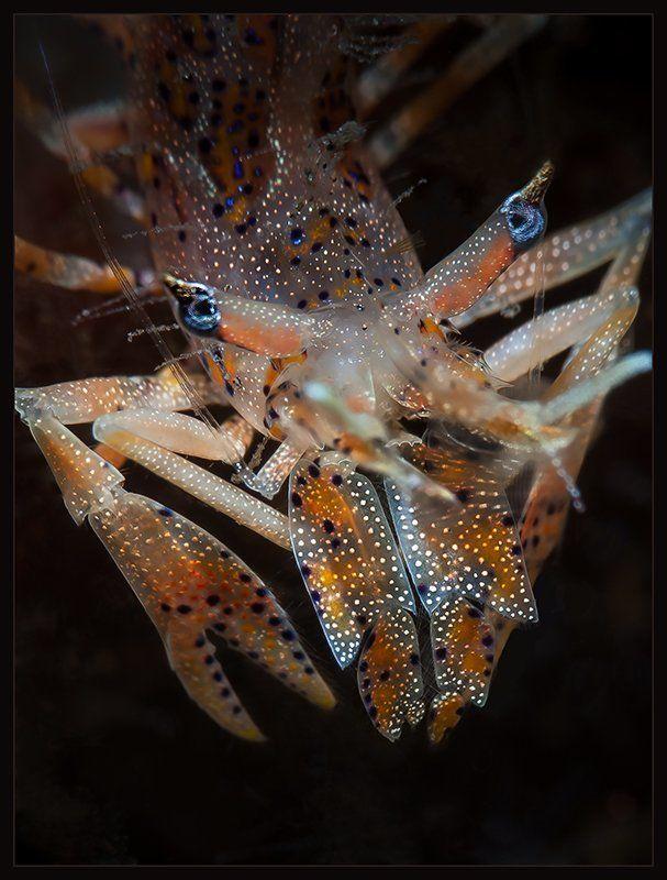 tiger, shrimp Голубоглазый тигрphoto preview
