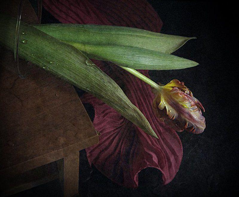 Натюрморт, Тюльпан, Цветок Меланхолия...photo preview