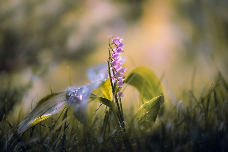 природа, макро, весна, цветы, ландыш Майская дрёмаphoto preview