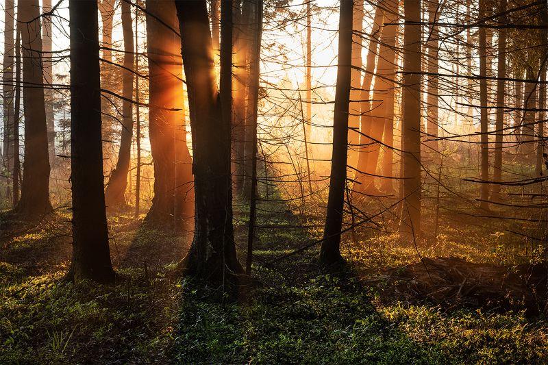 Утро в еловом лесу)photo preview