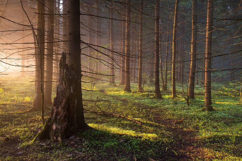 Утро в еловом лесу #2/photo preview