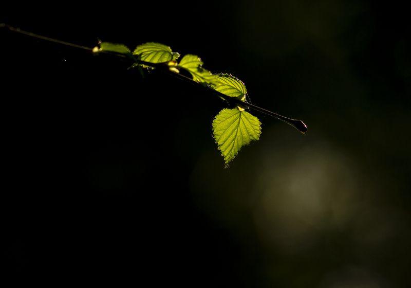 природа,  весна, береза, листья березы, макро, свет Зеленый шумphoto preview