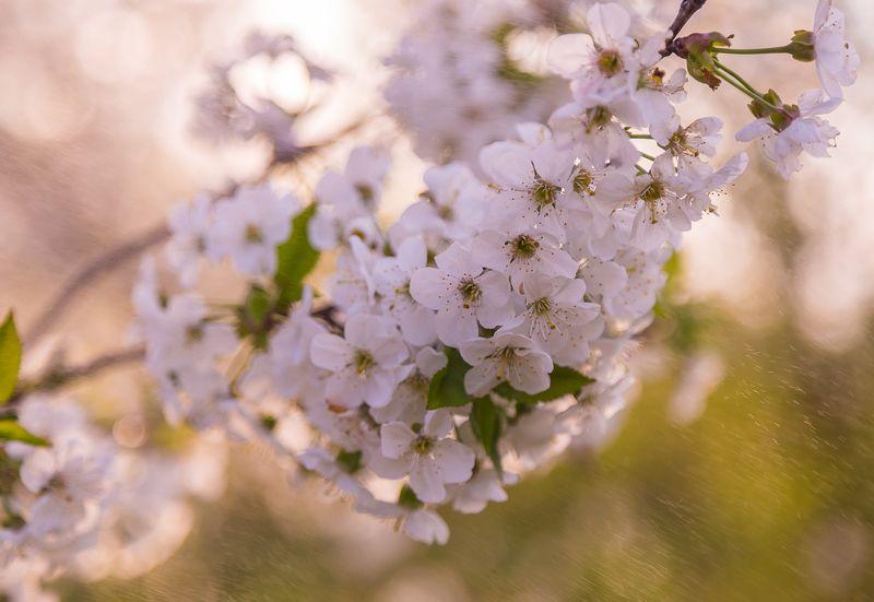 Ветка вишни фото превью