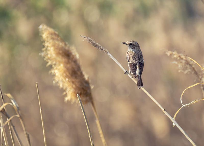 птица, черноголовый чекан, самка, весна, Черноголовый чекан (самка)photo preview