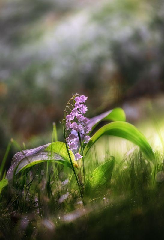 природа, макро, весна, цветы, розовый ландыш Старый вальсокphoto preview