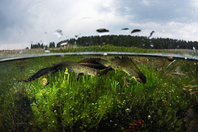 урал, тритон, гребенчатый тритон, красная книга, сплит, пейзаж, подводная съемка Брачный период гребенчатого тритона.photo preview