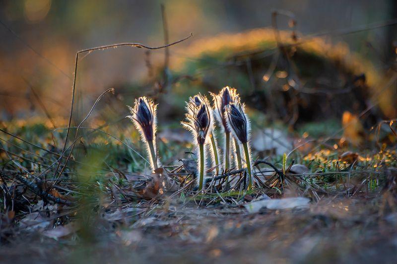 сон-трава, прострел раскрытый, мещёра, рязанская область, весна, закат Мои мохнатые любимцы…photo preview