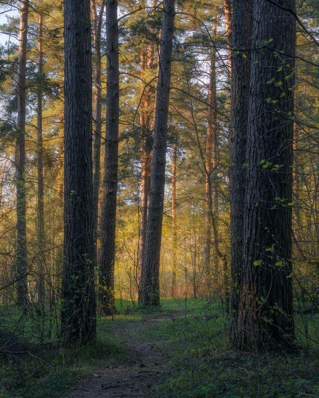 природа, лес, закат, сосны, пейзаж, Московская область Сосновый лес.photo preview