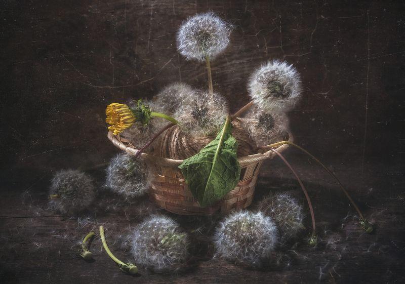 одуванчики,семена,пух,корзинка,увядание,последний,философия,концептуальный,текстура,пыль Последний...photo preview