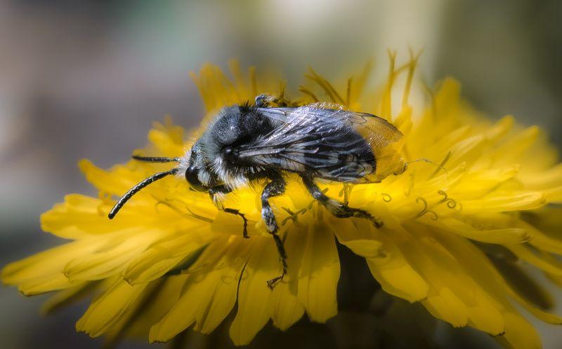 природа, макро, весна, цветы, одуванчик, насекомое, пчела Золотоискательphoto preview