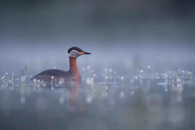 podiceps grisgena, red-necked grebe ***photo preview