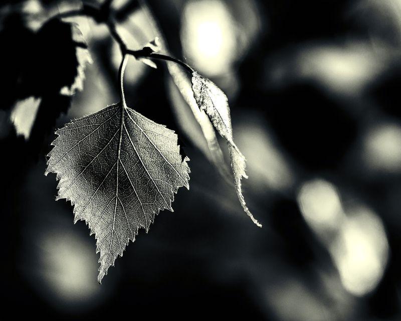 весна, лист березы, лес, природа, свет, тени Весенний этюдphoto preview