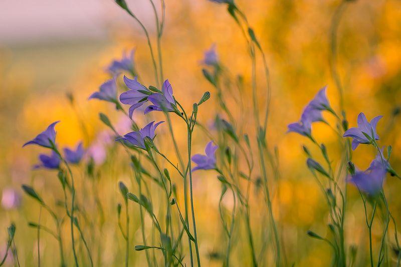 колокольчик, первоцветы, цветы, flowers, primulas, campanula Время колокольчиковphoto preview
