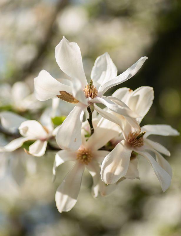цветение, весна, магнолия, цветы, белый, цветок, природа, ботаника, flower, spring, blossom Цветение магнолии.photo preview