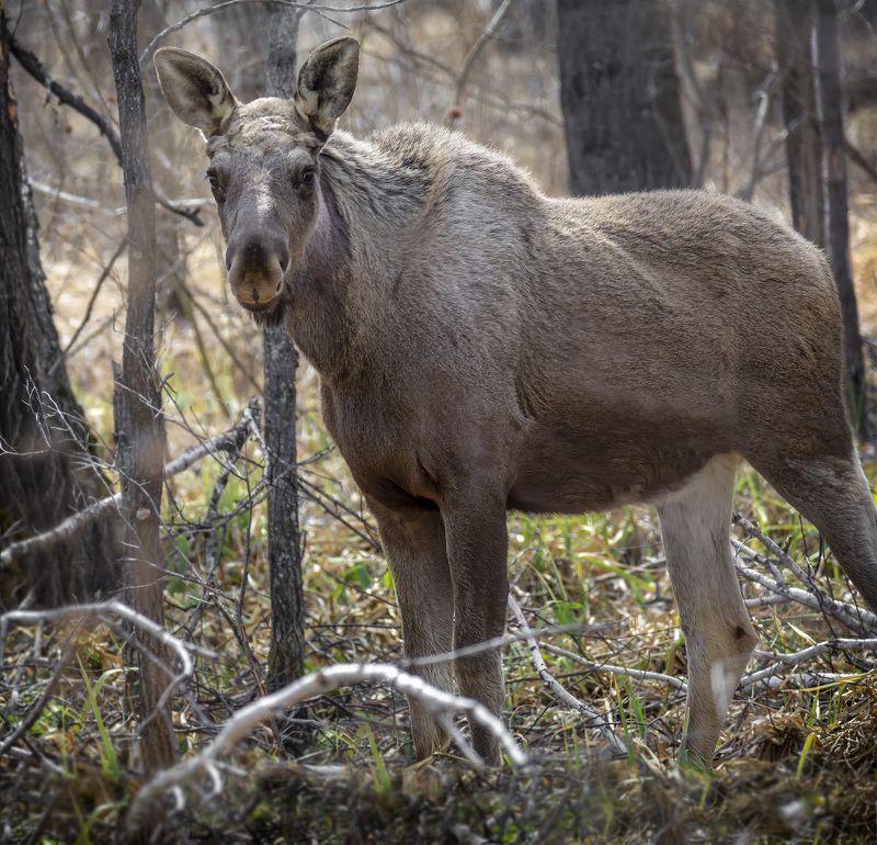животное, лось, лес, Лоси (прошлогодки)photo preview