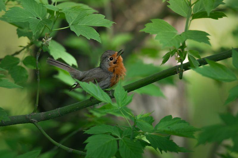 природа, лес, поля, огороды, животные, птицы, макро Певун ;)photo preview