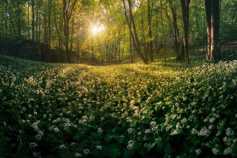 Garlic forestphoto preview