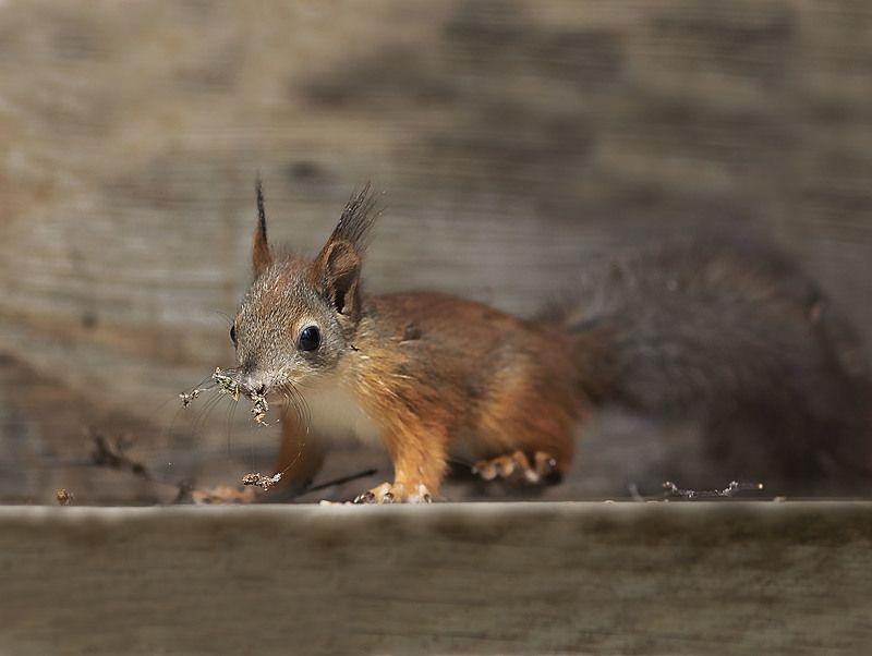 бельчонок, малышка, зверёк, squirrel, animal, nature Бельчонок фото превью