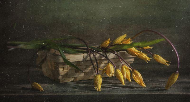 тюльпаны,жёлтые,дикие,цветок,корзинка,пыль,весенние,старая текстура Дикие и нежныеphoto preview