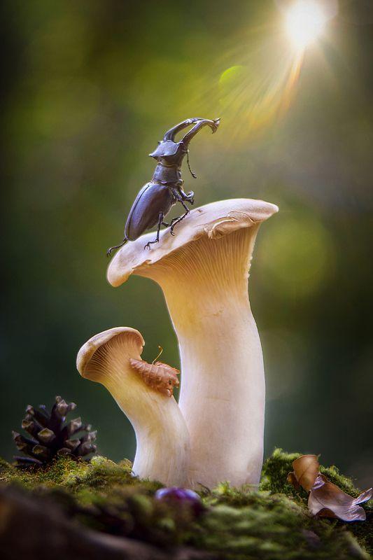 макро, макро фото, жук-олень, жуки, насекомые, вчувствование, макро истории, насекомые, macro, insect, nature, feelings \