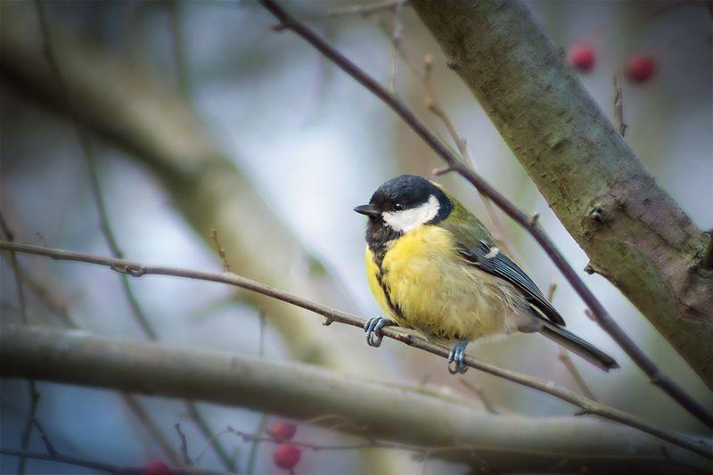 птица, синица, titmouse, bird Первые весенние певцыphoto preview