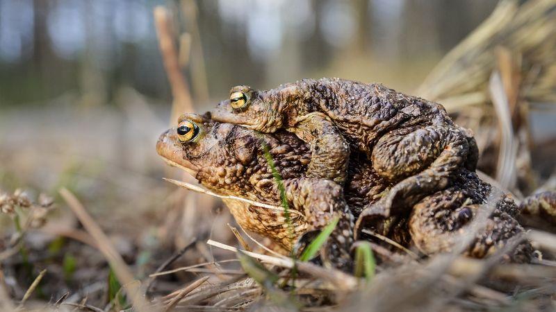 весна  заповедник, любовь, серая жаба, красная книга, ленобласть, озеро Друг тебя не бросит...photo preview