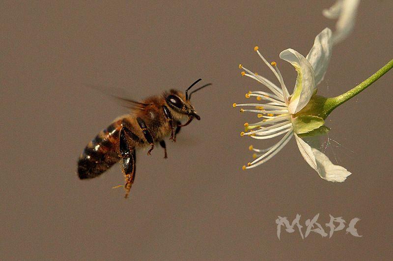 макро пчела весна май цветок вишни Пчелкаphoto preview