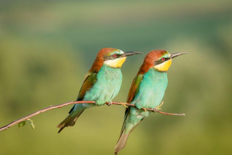 золотистая щурка, птицы, лето, birds, wildlife, bee-eater Щуркиphoto preview