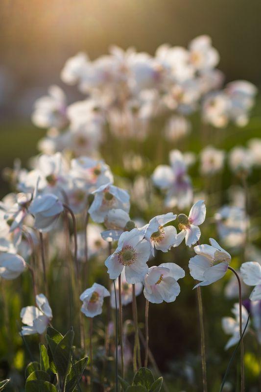 цветы, маки, белые маки, весна, прага, город, городские цветы, закат, свет, poppies, white, flowers, nature white poppiesphoto preview