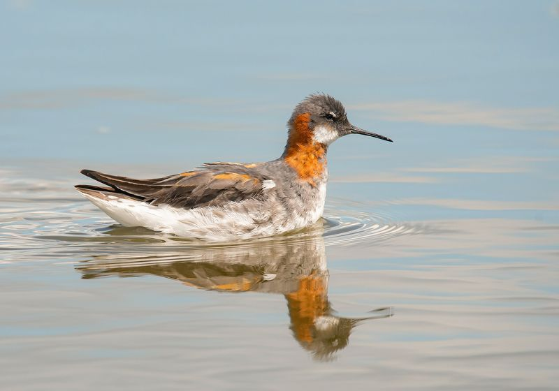 птицы,природа, весна Круглоносый плавунчикphoto preview